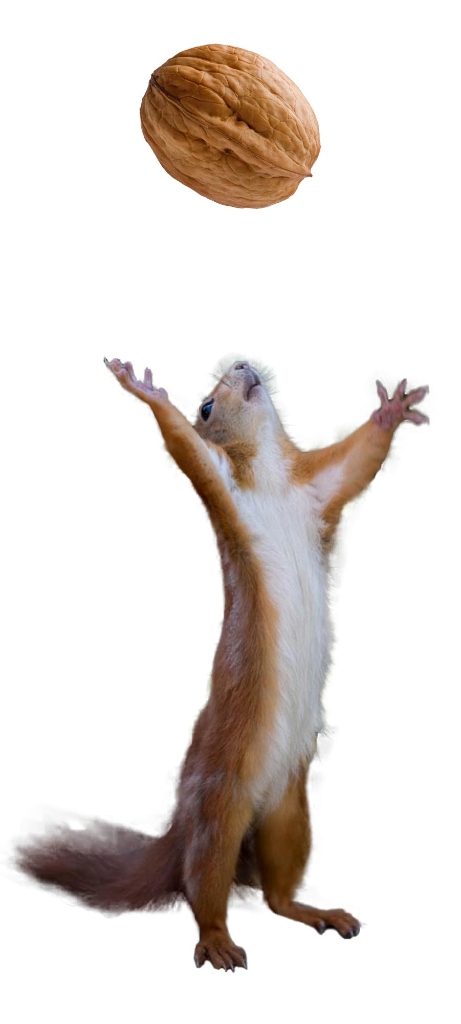 stete od veverica na orasima i lesnicima znaju biti izuzetno velike